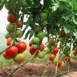 pomidor parniki