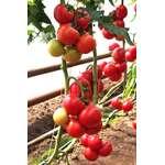 Pomidor Şitili-Doufu F1