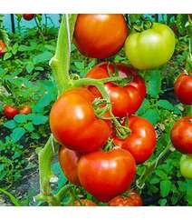 Pomidor şitili - Berberana F1