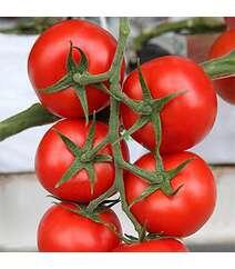 Pomidor şitili - Durinta F1
