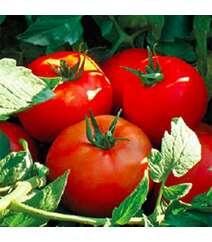 Pomidor şitili - Kalite F1