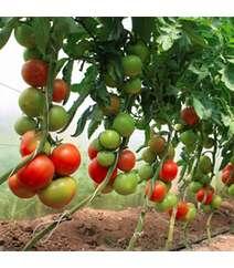 Pomidor şitili - Ralli F1