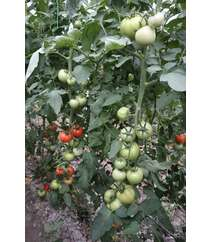 Pomidor Şitili-Yanki F1