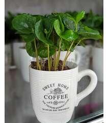 Kofe agaci