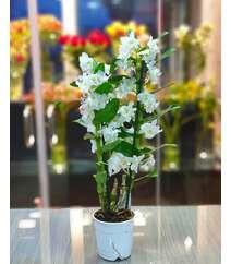 Orxideya Dendrobium