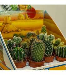 Mix Kaktuslar