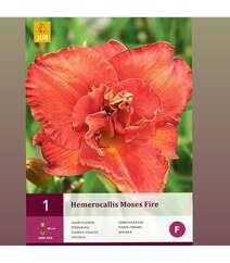 Hemerocallis (Lileynik)