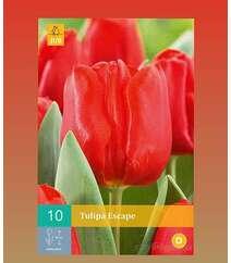 Tulipa Rscape