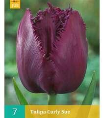 Tulipa Curly Sue