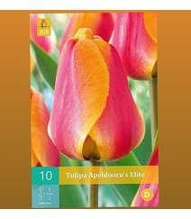 Tulipa Apeldoorns Elit