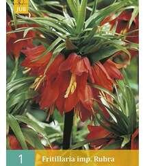 Fritillaria imp.Rubra