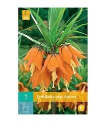 Fritillaria imp.Aurora