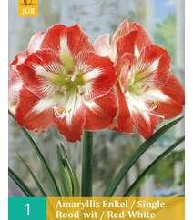 Amaryllis Enkel/Red-White