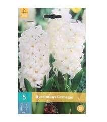 Hyacinthus Jan Bos (Qiaçent)