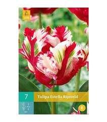 Tulipa Estella Rijnveld-
