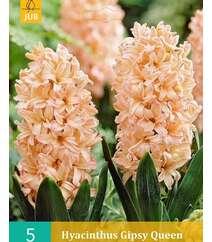 Hyacinthus Gipsy Queen