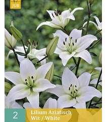 Lilium Aziatisch Whit