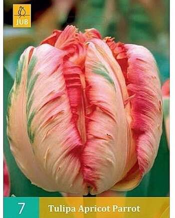 Tulipa Apricot Parrot