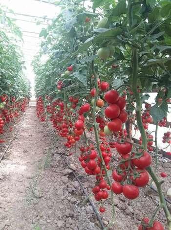 Pomidor Şitili-Filinta F1